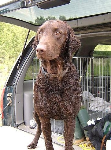Curly Coated Retriever, 8 months, Brown, Curls!