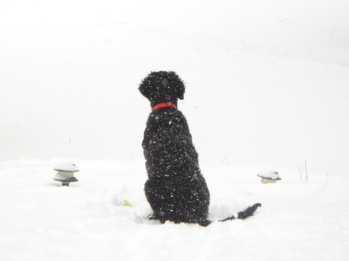 Curly Coated Retriever, 2 years, black, Watching over the yard.