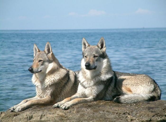 Czechoslovakian Wolfdog, 2 years, Gray, At the beach.