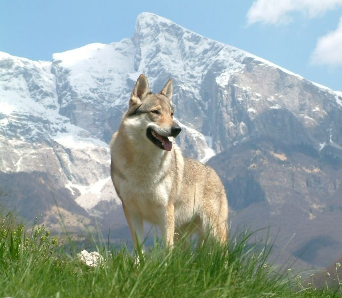 Czechoslovakian Wolfdog, 1 year, Gray, In the hills.