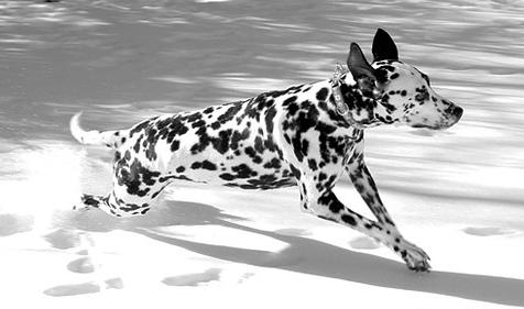 Dalmatian, 1 year, Black and White, Looking good.