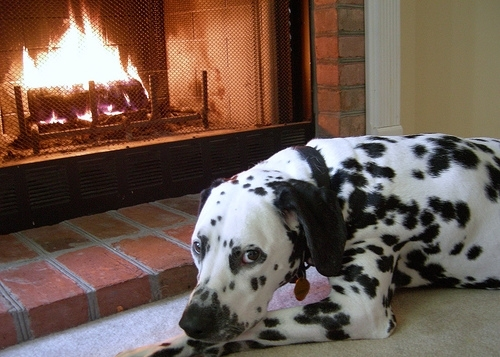 Dalmatian, 9 months, Black and white, Laying by the fire.