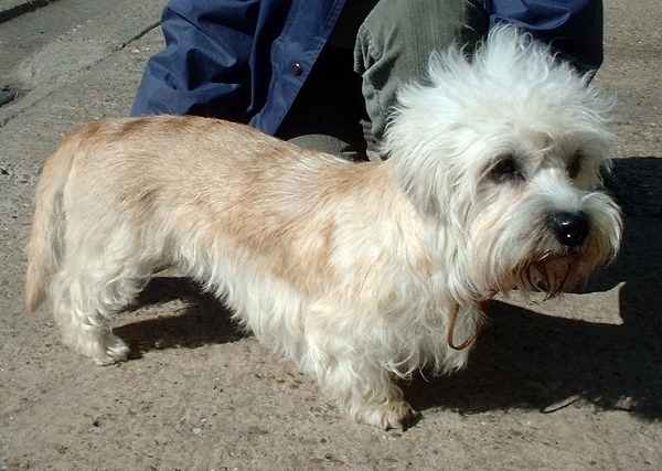 Dandie Dinmont Terrier, 1 year, Cream, Long and short.