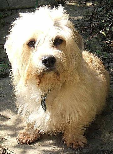 Dandie Dinmont Terrier, 3 years, Cream, Pregnant.