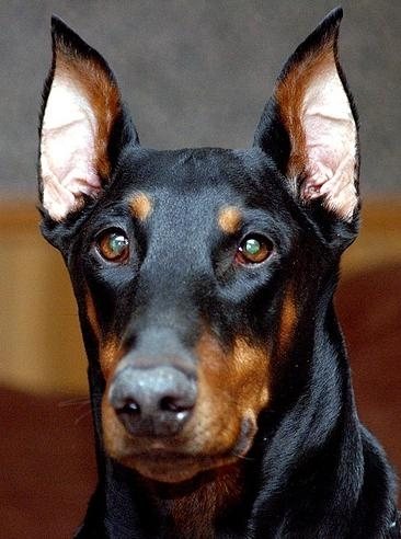 Doberman Pinscher, 8 months, Black, Great Face.