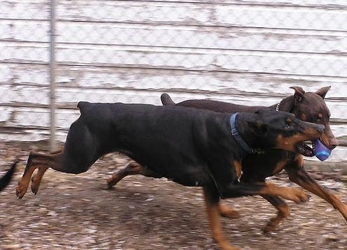 Doberman Pinscher, 1 year, Black, Playing rough.