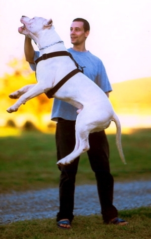 Dogo Argentino, 1 year, White, Jumping high.