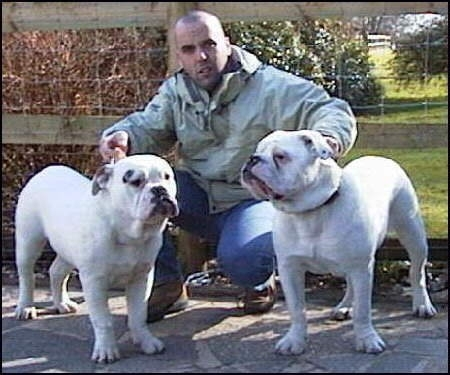 Dorset Olde Tyme Bulldogge, 2 Years, White, Great dogs.