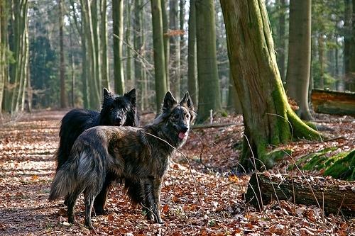 Dutch Shepherd, 2 years, Mixed, Waiting for a ball.
