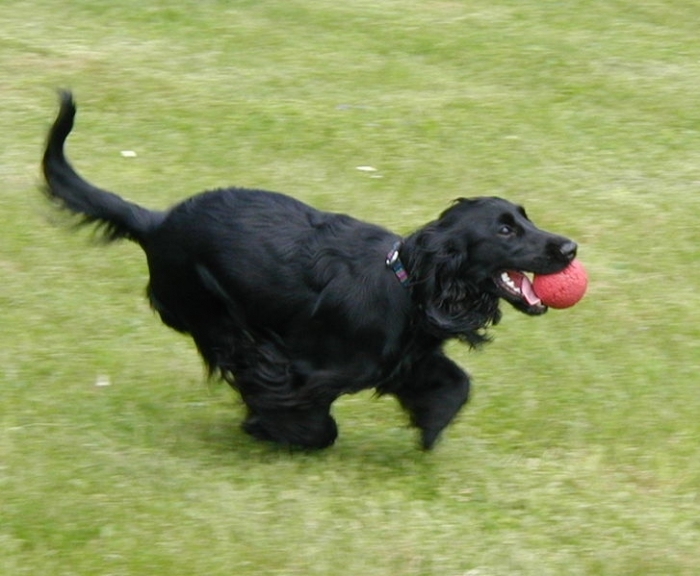 English Cocker Spaniel, 8 months, Black, Running with his ball.