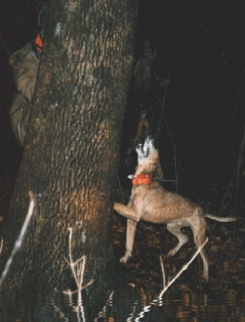 English Coonhound, 1 year, Brown, Barking up a tree.