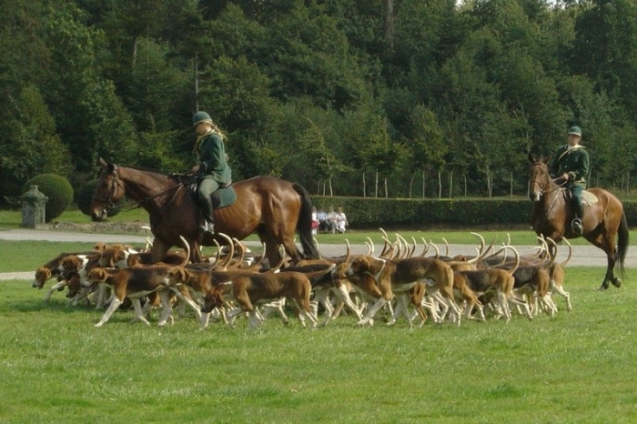 English Foxhound, 1-5 years, Brown and White, Ready to hunt.