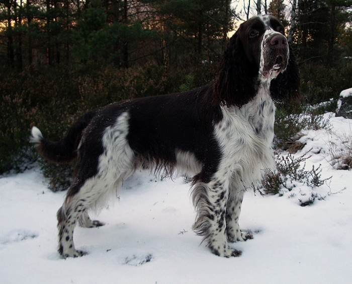 English Springer Spaniel, 3 years, Brown and White, In the snow.