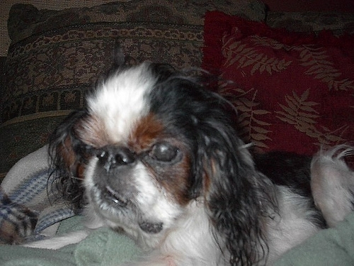 English Toy Spaniel, 4 months, Tri color, Laying down.