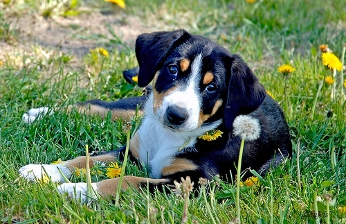 Entlebucher Sennenhund, 2 months, Tri color, Looking young.