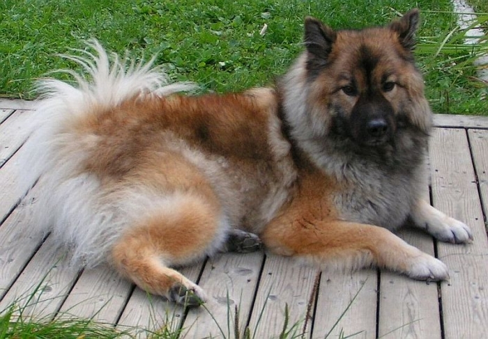 Eurasier, 9 months, Tri Color, Laying down.