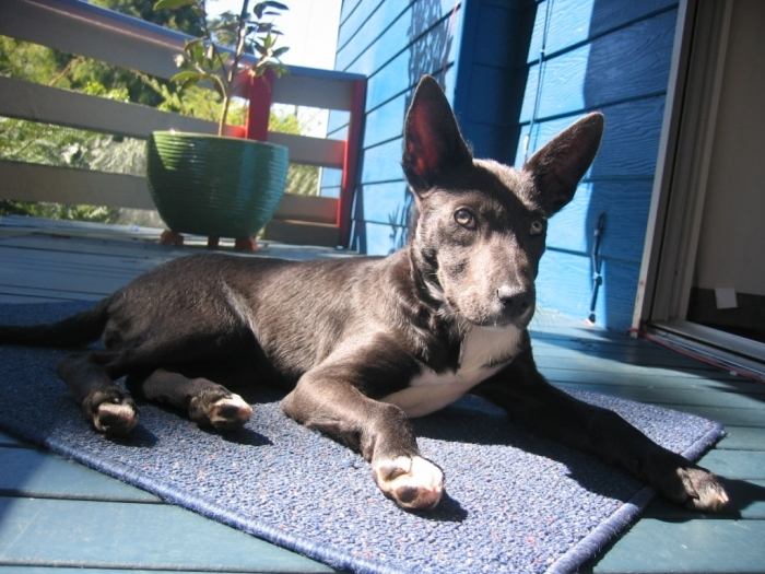 Australian Kelpie, 1 year, charchol, Beatiful natured with loads of energy. Luckily we have a large yard for her to play in and we ensure she gets lots of walks and runs.