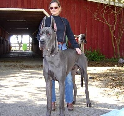 Great Dane, 3 years, Blue, Standing tall.