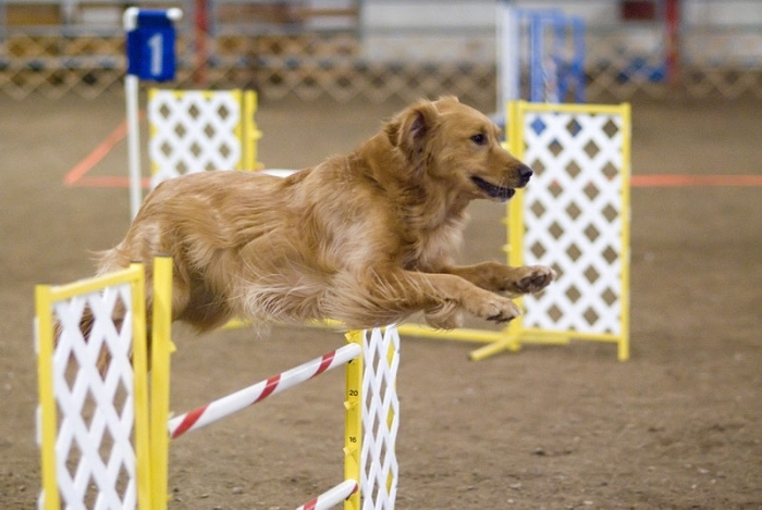 Golden Retriever, 2 years, Brown, Trained and jumping.