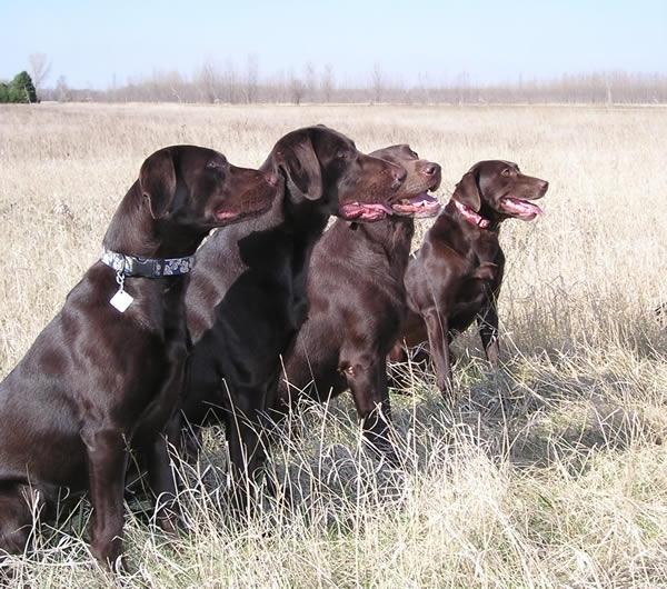 Labrador Retriever, 1 to 5 years, Chocolate, Ready to hunt.