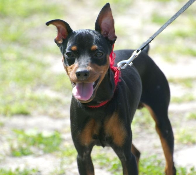 Miniature Pinscher, 2 years, Black and Brown, Smiling.