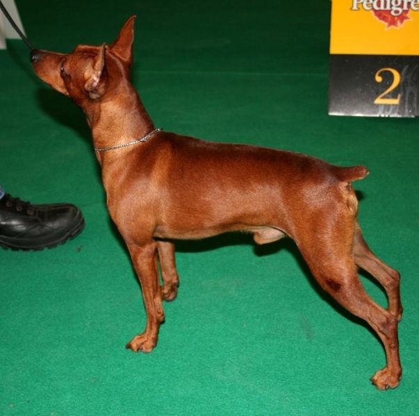 Miniature Pinscher, 2 years, Brown, Posing.