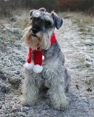 Miniature Schnauzer, 1 year, Gray, It's Christmas.