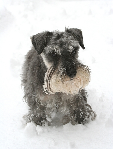 Miniature Schnauzer, 1 year, Gray, Playing in the snow.