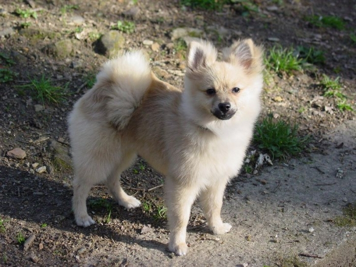 Pomeranian, 8 months, Tan, Great photo.