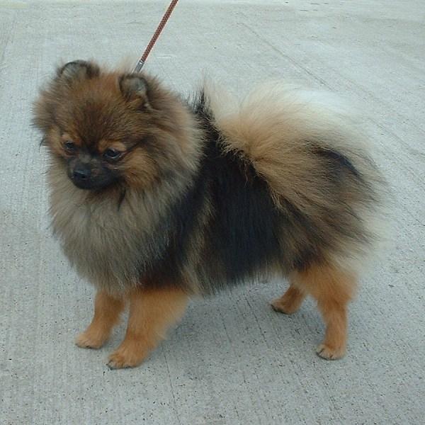 Pomeranian, 4 months, Brown, Happy boy.