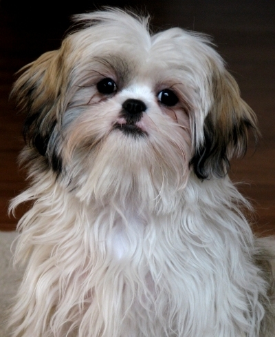 Shih Tzu, 4 months, White, Doing what her name entails.