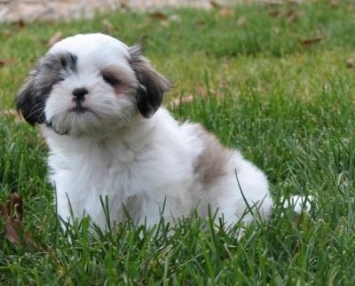 Shih Tzu, 6 weeks, White, Little puppy.