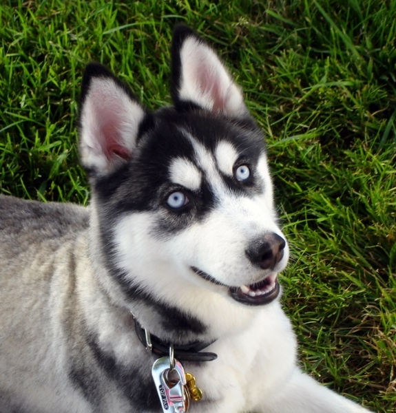 Siberian Husky, 2 years, Pepper, Blue eyes.