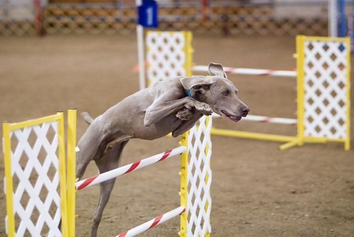 Weimaraner, 2 years, Blue, Doing his jumping thing.