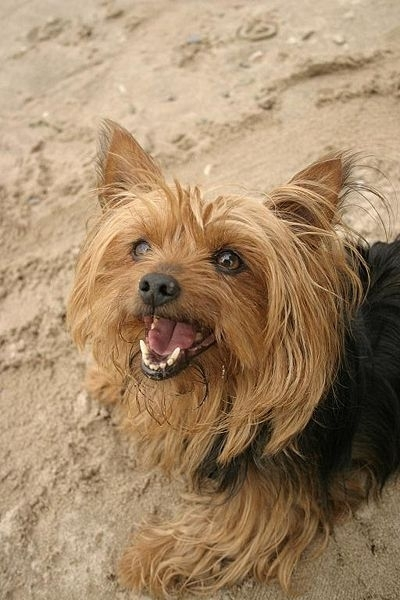Yorkshire Terrier, 8 months, Brown, Looking cute.