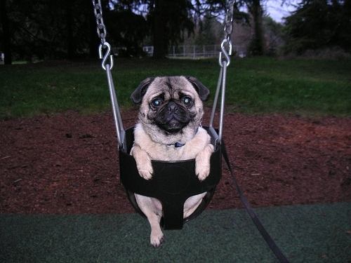 Pug, 2 years, Brown, In the swing!