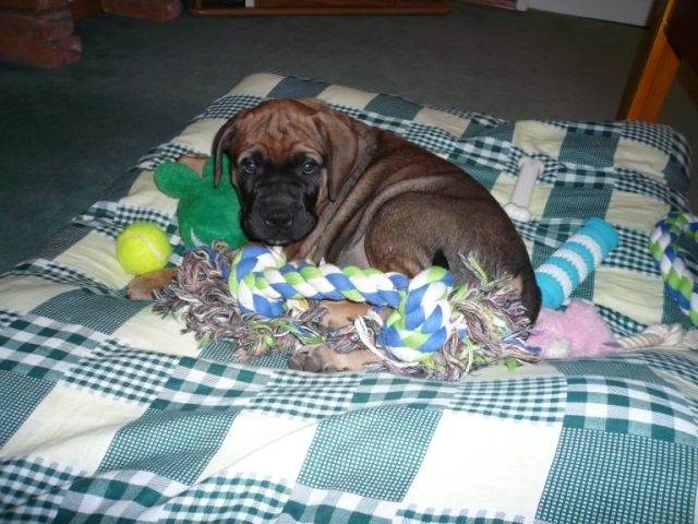 Bullmastiff, 8 weeks, Red/Fawn, Doing his best manatee impression.