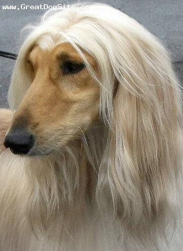 Afghan Hound, 1 year, Cream, perfect part