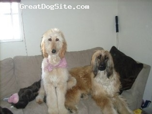 Afghan Hound, 1.5 year and 9 months, red, my babys