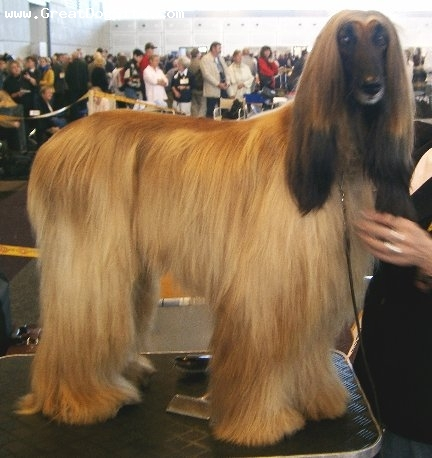 Afghan Hound, 2 years, brown, at a dog show