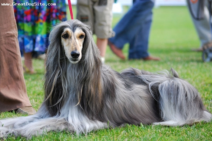 Afghan Hound, 2 years, gray, her hair looks beautiful.