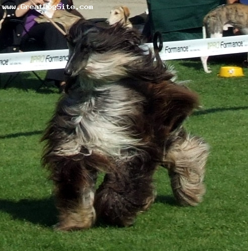 Afghan Hound, 3 years, Brown, prancing at a dog show