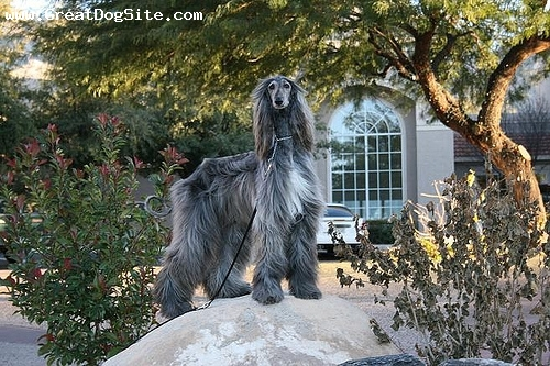 Afghan Hound, 5 years, Gray, we love our afghan hound