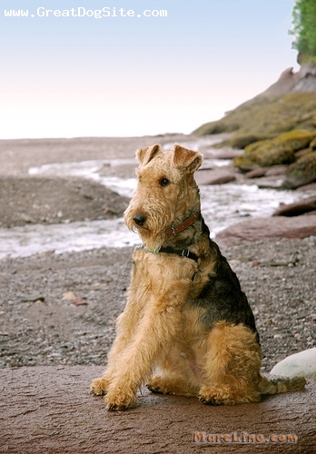 Airedale Terrier, 1 year, Tan, by the beach