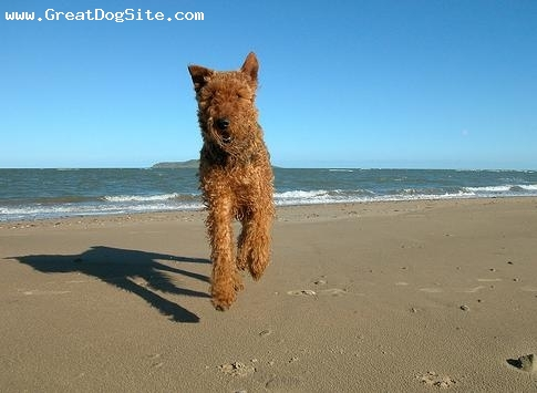 Airedale Terrier, 1 year, Tan, running around