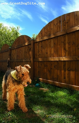 Airedale Terrier, 1.5 years, Tan, playing in her yard