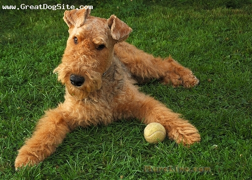 Airedale Terrier, 1.5 years, Tan, she loves her ball