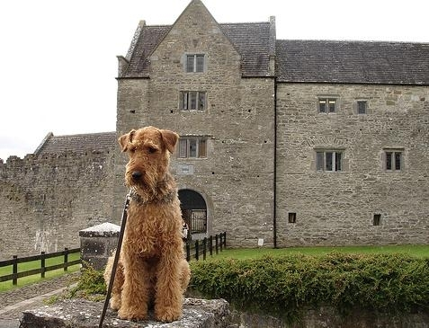 Airedale Terrier, 1.5 years, Tan, at his castle