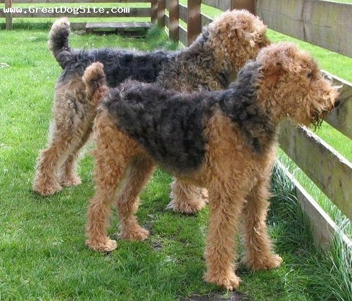 Airedale Terrier, 3 years, Tan, I wonder what they are looking at