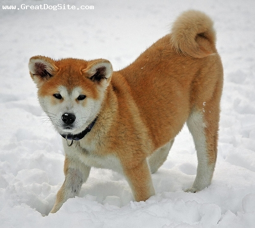 Akita Inu, 5 months, Red, in the snow
